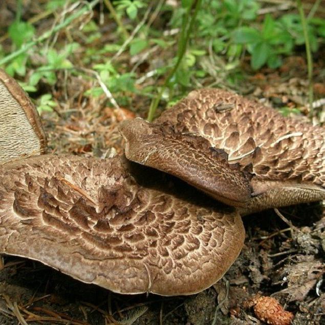 Сушеные грибы ежовик пестрый