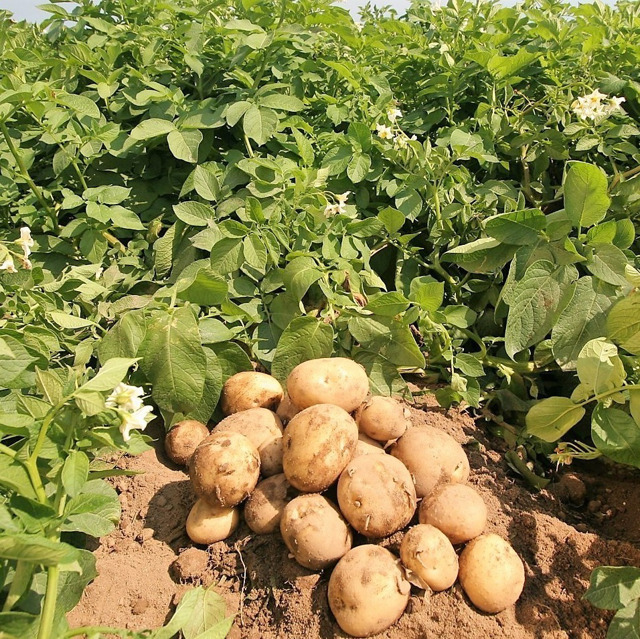 картофель №116876