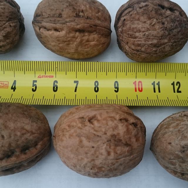 Грецкий орех №18905