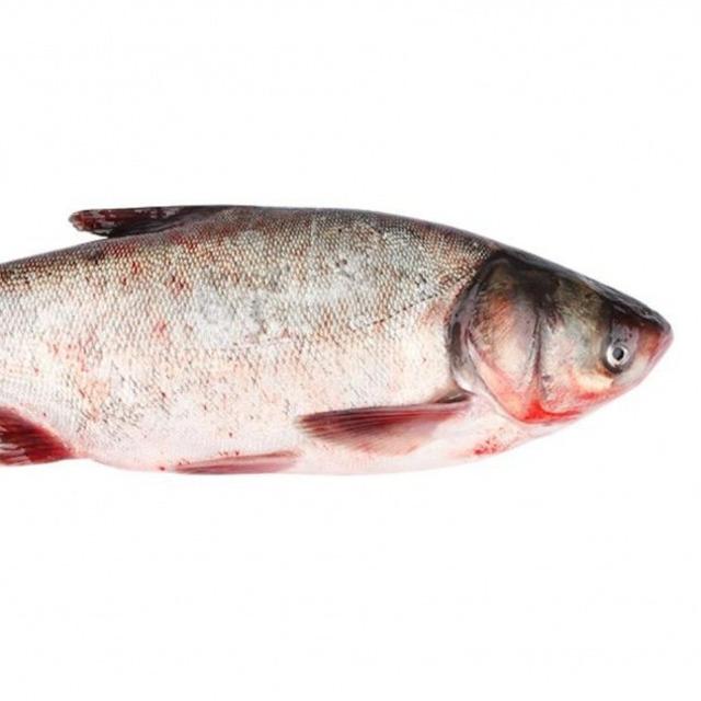 Рыба живая. Толстолобик