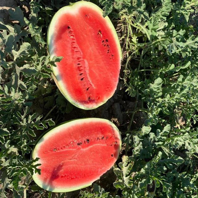 семена арбуза Каристан