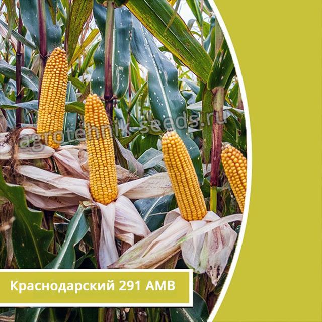 Краснодарсикй 291 семена кукурузы урожай до 120 ц/га
