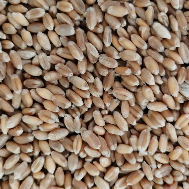 Пшеница №207056