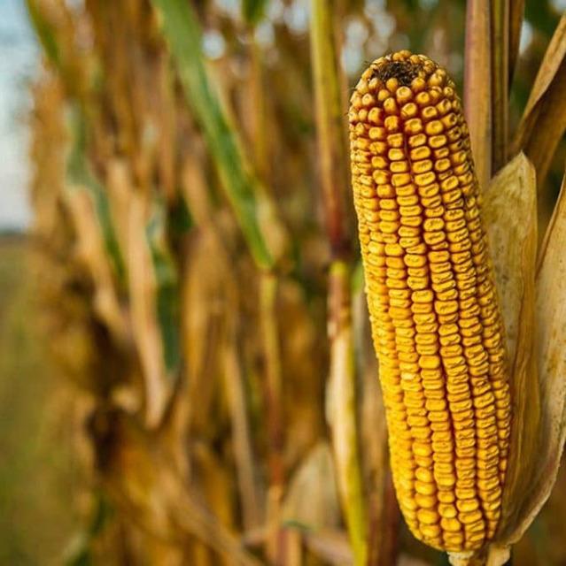 Семена кукурузы Краснодарский 194 МВ, СКАП 201 и др.