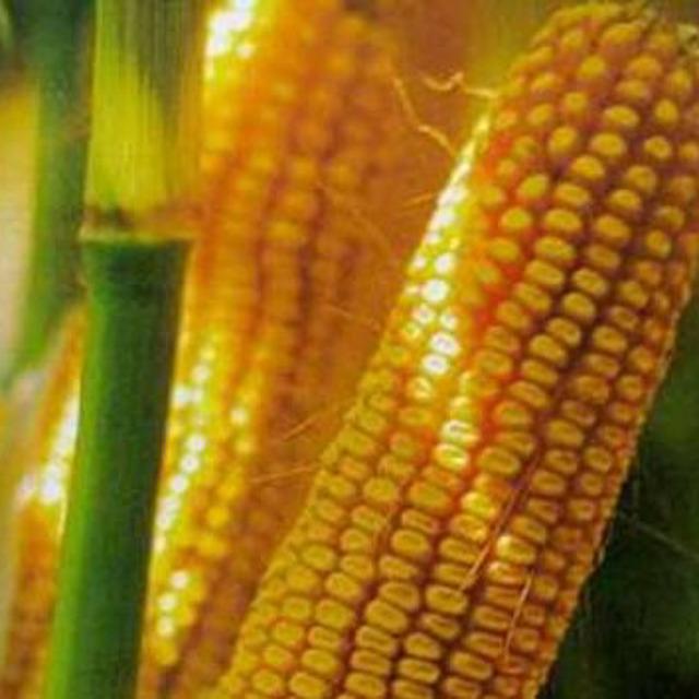 Семена кукурузы Краснодарский 385 МВ
