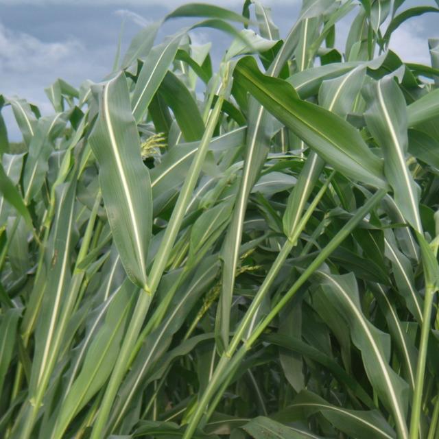 Семена суданской травы Кинельская 100