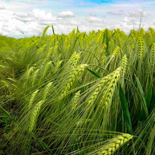 Семена ярового ячменя Вакула РС1