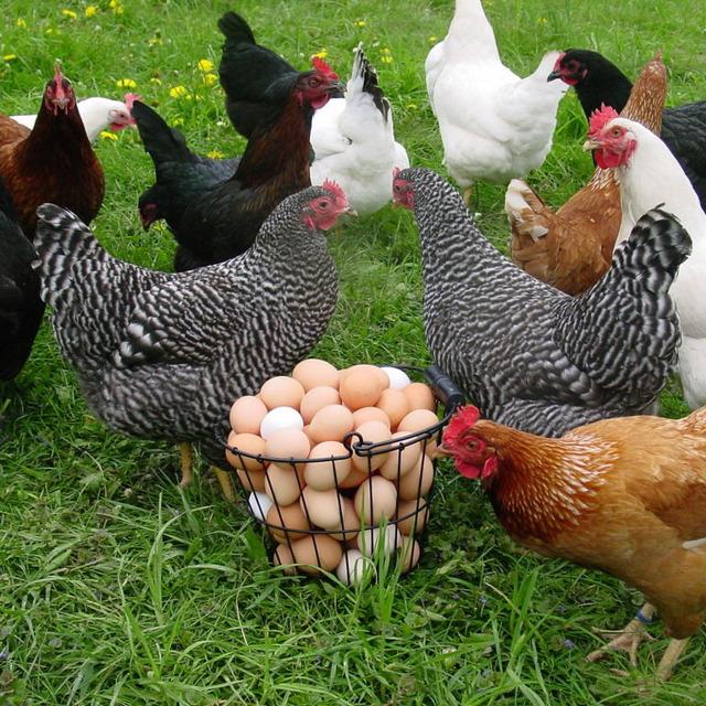 Яйца инкубационные кур, индеек, цесарок и т.д.