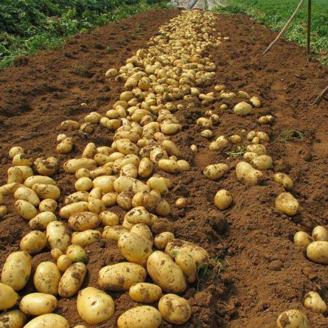 КФХ вырастит для Вас семенной картофель