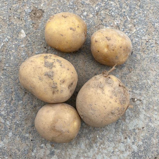 Семенной картофель без посредников,