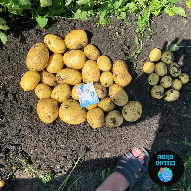 Картофель оптом 5+ от производителя 18р/кг
