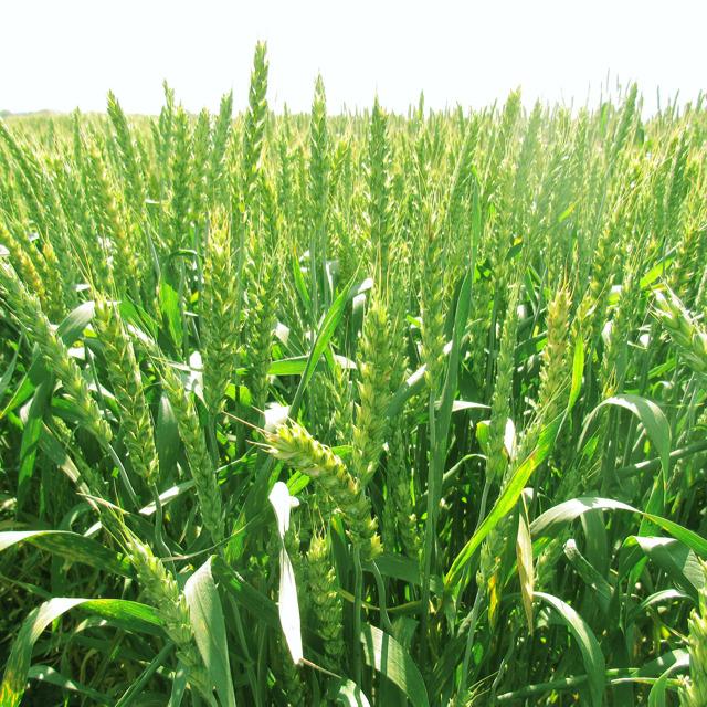 """Семена озимой пшеницы """"Ахмат"""""""
