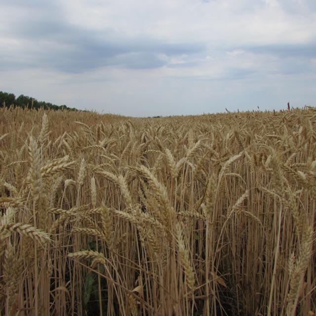 """Семена озимой пшеницы """"Гром"""" от производителя."""