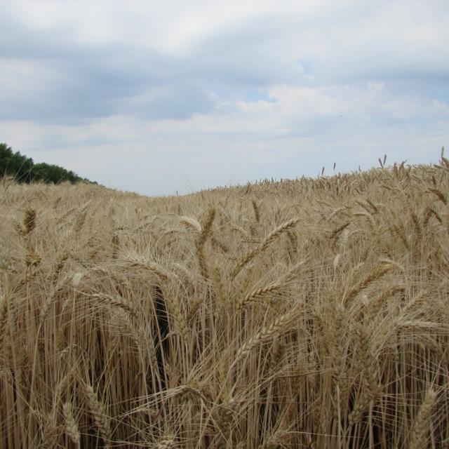 """Семена озимой пшеницы """"Губернатор Дона"""" от производителя"""