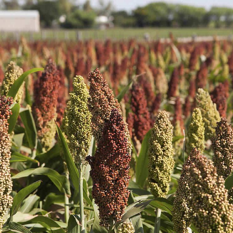 Семена суданской травы Анастасия ЭС/РС1